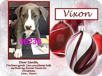 American Bulldog/Labrador Retriever Mix Puppy for adoption in Ringwood, New Jersey - Vixon