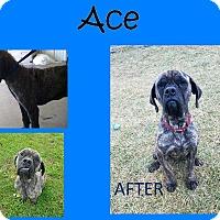 Adopt A Pet :: Ace - Moberly, MO