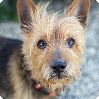 Yorkie, Yorkshire Terrier Mix Dog for adoption in Canyon Country, California - Louie