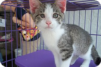 Domestic Shorthair Kitten for adoption in Acme, Pennsylvania - Tank