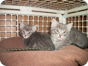 American Shorthair Kitten for adoption in Santa Monica, California - Sasha