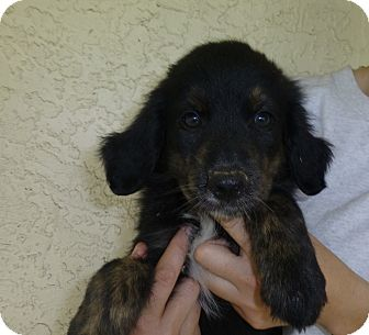 Golden Retriever/Australian Shepherd Mix Puppy for adoption in Oviedo, Florida - Mj