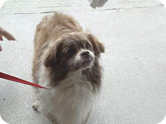 Pekingese/Pomeranian Mix Dog for adoption in Hazard, Kentucky - Ricky
