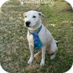 Labrador Retriever/Pit Bull Terrier Mix Dog for adoption in Gilbert, Arizona - Pippy