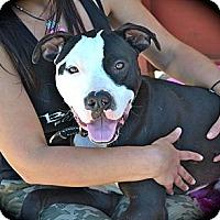 Adopt A Pet :: Socks-Courtesy post - Phoenix, AZ
