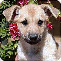 Adopt A Pet :: Seven - Gilbert, AZ