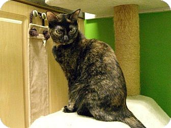 Domestic Shorthair Cat for adoption in Jupiter, Florida - Savannah
