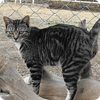 Adopt A Pet :: Timmy *Reduced adoption fee FIV positive kitty* - Kyle, SD