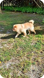 Chow Chow Dog for adoption in Dix Hills, New York - Sampson