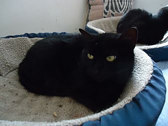 Domestic Shorthair Cat for adoption in Central Islip, New York - Baisley