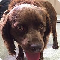 Adopt A Pet :: Brownie - Irmo, SC
