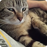 Hemingway/Polydactyl Cat for adoption in St. Louis, Missouri - Morgan