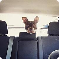 Adopt A Pet :: Johnny Utah - Villa Park, IL