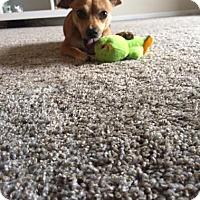 Adopt A Pet :: Nolan PUPPY - tampa, FL