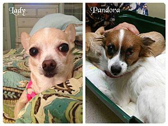 Chihuahua Mix Dog for adoption in Pataskala, Ohio - Lady & Pandora