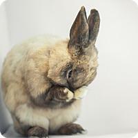 Adopt A Pet :: Muhammad Ali - Los Angeles, CA