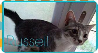 Domestic Shorthair Kitten for adoption in Hinesville, Georgia - Russell