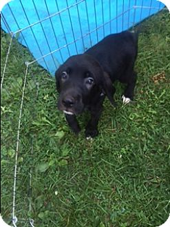 Hound (Unknown Type)/Labrador Retriever Mix Puppy for adoption in waterbury, Connecticut - Banjo