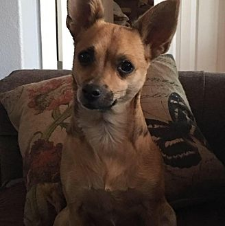 Chihuahua Mix Dog for adoption in Sacramento, California - Rosie