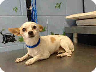 Chihuahua Mix Dog for adoption in San Bernardino, California - URGENT ON 10/4  San Bernardino