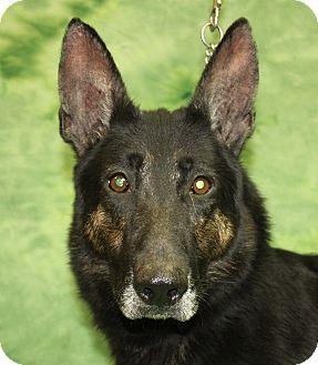 German Shepherd Dog Dog for adoption in Jackson, Michigan - Marlo