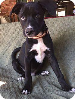 Labrador Retriever Mix Puppy for adoption in North Brunswick, New Jersey - Daniel