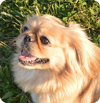 Pekingese Dog for adoption in Prole, Iowa - Pansy