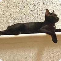 Adopt A Pet :: Ace - Barrington Hills, IL