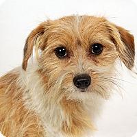 Adopt A Pet :: Blitzen Terrier Mix - St. Louis, MO