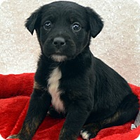 Adopt A Pet :: Indy-Adoption pending - Bridgeton, MO