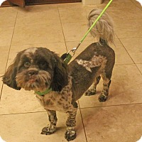 Adopt A Pet :: WOOKIE - Plano, TX