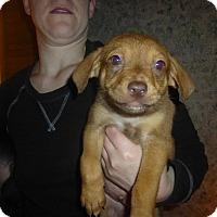 Adopt A Pet :: Gauthier - Glastonbury, CT