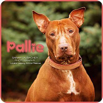 Bull Terrier/Pit Bull Terrier Mix Dog for adoption in Cincinnati, Ohio - Pallie $14
