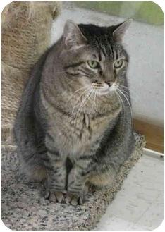 Domestic Shorthair Cat for adoption in Lincoln, Nebraska - KC