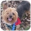 Photo 1 - Yorkie, Yorkshire Terrier/Silky Terrier Mix Dog for adoption in West Palm Beach, Florida - Kenzie