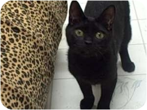 "Bombay Cat for adoption in Moses Lake, Washington - ""Shady"" Brady"