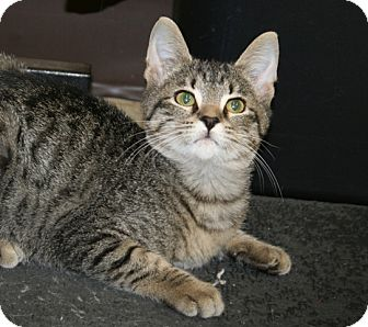 American Shorthair Cat for adoption in Plainfield, Connecticut - Brockie