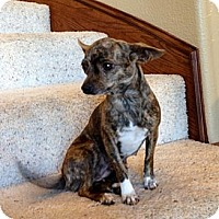 Adopt A Pet :: Chloe - Justin, TX