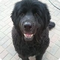 Adopt A Pet :: Ziggy - Lee's Summit, MO