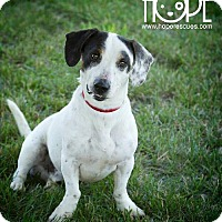 Basset Hound/Jack Russell Terrier Mix Dog for adoption in Godfrey, Illinois - Petey