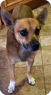 Chihuahua Mix Dog for adoption in Winder, Georgia - Max