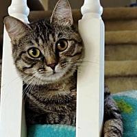 Adopt A Pet :: Marigold - McKinney, TX