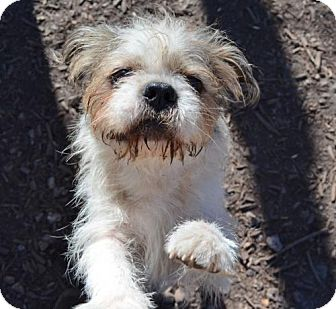 Jack Russell Terrier/Pug Mix Dog for adoption in Temple, Georgia - Scruffy McScruff