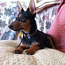 Photo 3 - Manchester Terrier Mix Dog for adoption in Garland, Texas - Kisses