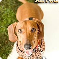 Adopt A Pet :: Alfred - Los Angeles, CA