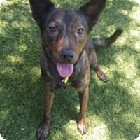 Australian Kelpie Mix Dog for adoption in Scottsdale, Arizona - Sheldon