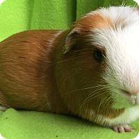 Adopt A Pet :: Weasel - Steger, IL