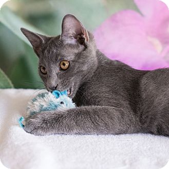 Domestic Shorthair Cat for adoption in Houston, Texas - Goose
