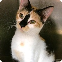 Adopt A Pet :: Beyonce - Lake Elsinore, CA