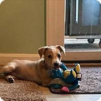 Adopt A Pet :: Sandy - Centreville, VA